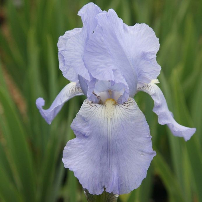 Iris Bearded Jane Phillips